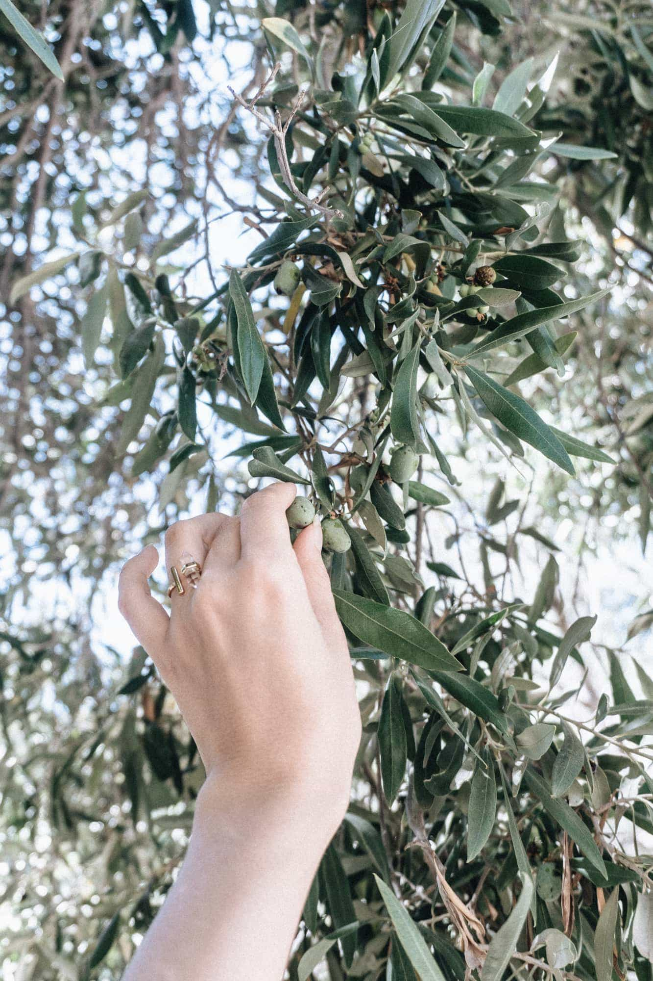 Picking a California olive.